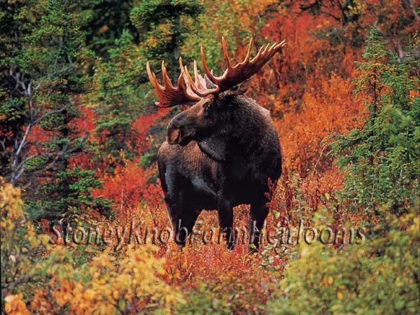 Moose in Fall Colors ~ Animals ~ Counted Cross Stitch Pattern Chart  #StoneyKnob...