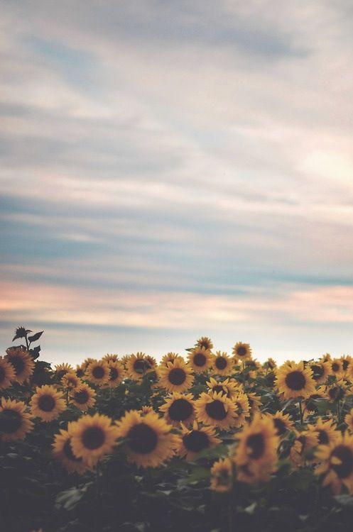 Iphone Wallpaper Photo Sunflowers Screen Saver Iphone