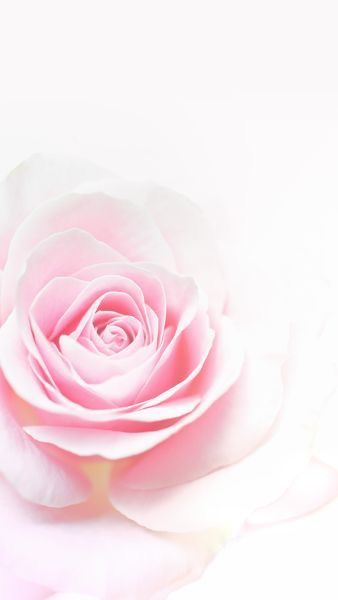 Nature wallpaper iPhone flowers rose