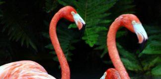 Animals wallpaper iPhone birds flamingo pink