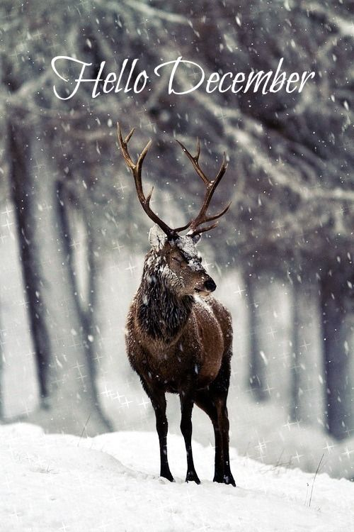 *-*, animal, animals, beautiful, christmas, cold, cute, december, deer, forest, ...