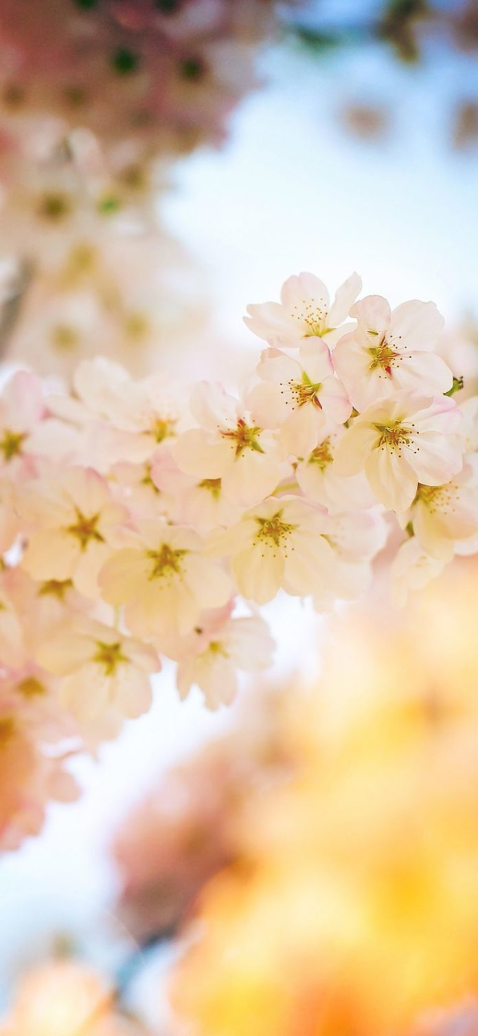 mm38-flower-blossom-cherry-flare-tree-nature via iPhoneXpapers.com - Wallpapers ...