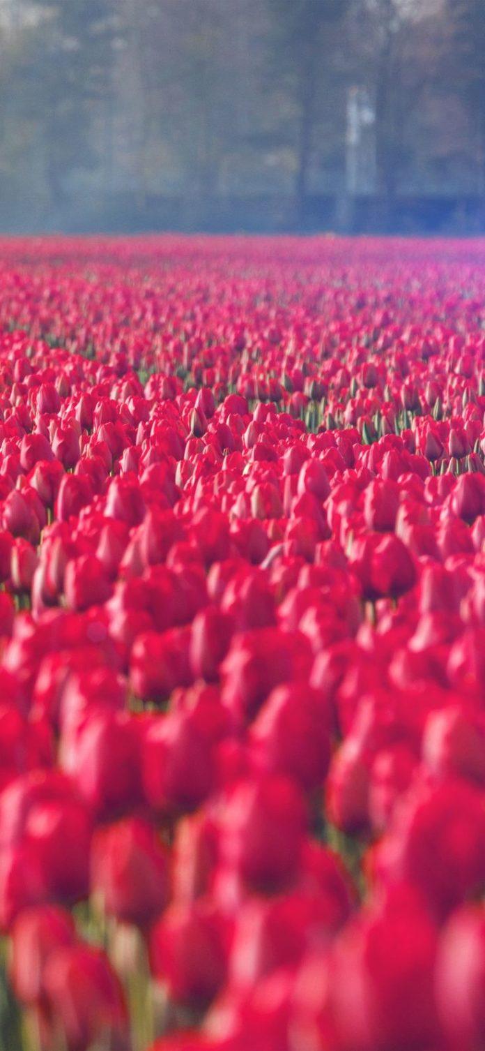 Iphone X Rose Flower Wallpaper Flowers Healthy