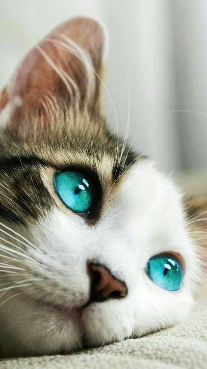 Des  yeux turquoise chez un chat ? Vrai ou faux ?